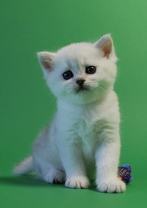 Chaton British Shorthair adorable